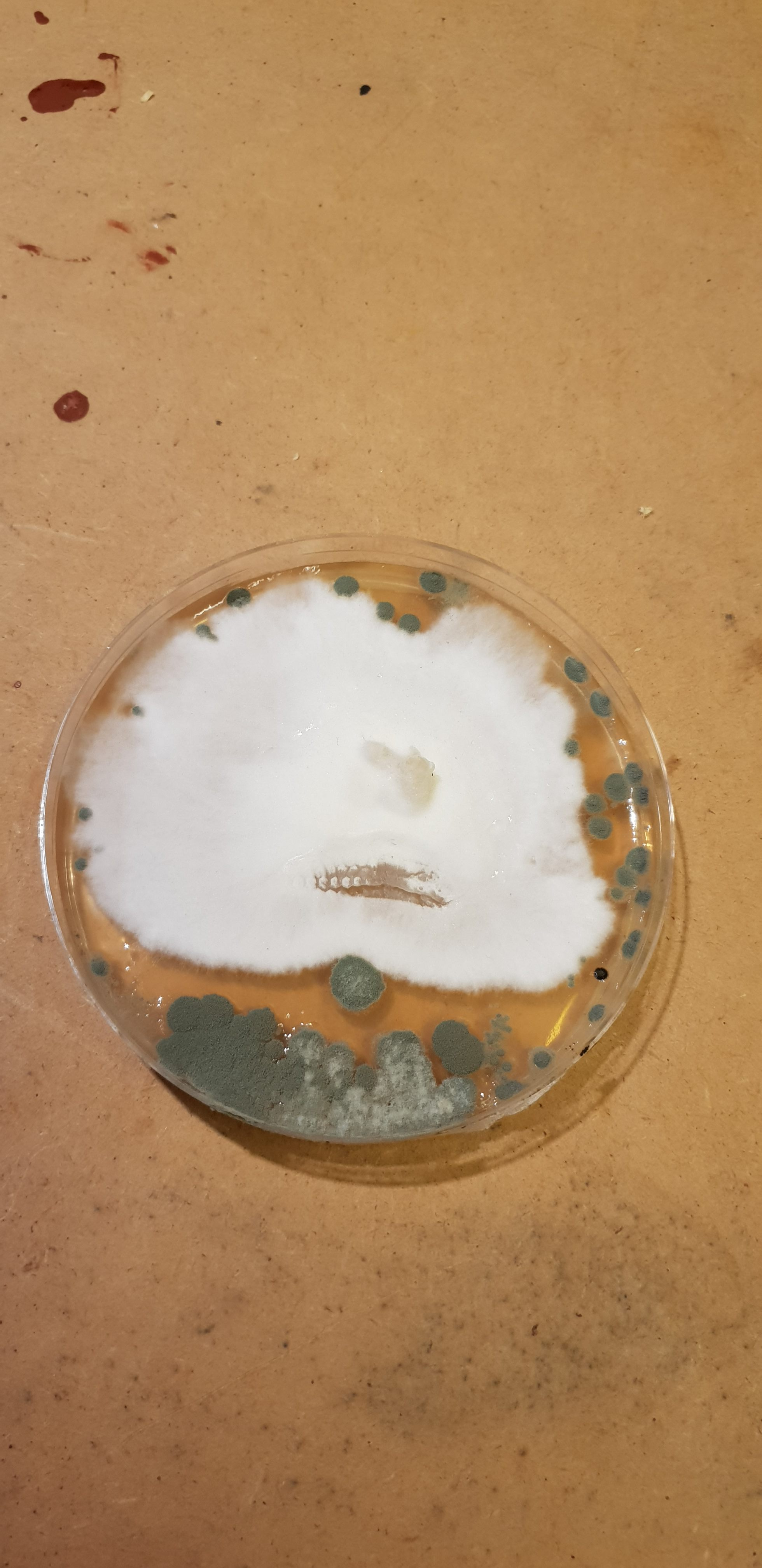 Trichoderma Infected Petri Dish Of King Oyster Mushrooms | Archer's Mushrooms