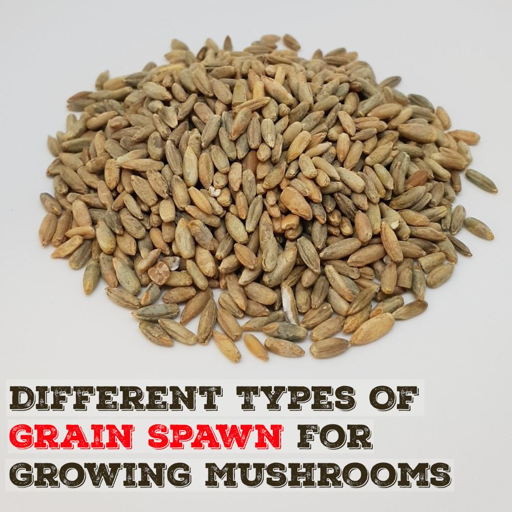 Different Types Of Grain Spawn For Mushroom Growing | Mushroom Blogs | Mushroom Growing | Mushroom Tips | Mushroom Business