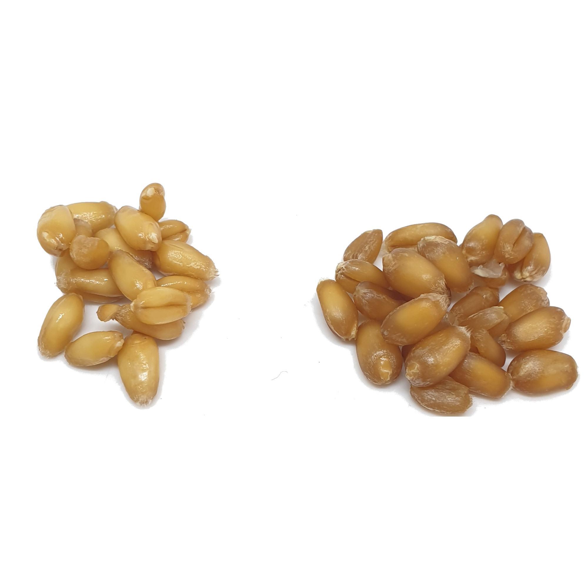 Simple Grain Spawn | Mushroom Grain Spawn | How to Make Mushroom Grain Spawn | Wheat Berry Spawn | Archers Mushrooms | Mushroom Blogs | Mushroom Growing | Mushroom Tips | Mushroom Business