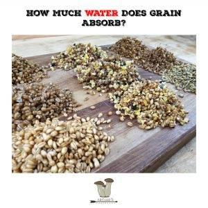 How Much Water Does Grain Absorb?   Mushroom Growing   Mushroom Blogs   Mushroom Growing   Mushroom Tips   Mushroom Business