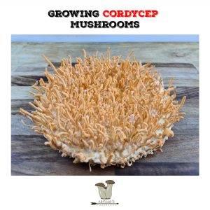 Growing Cordycep Militaris | Mushroom Growing | Mushroom Blogs | Mushroom Growing | Mushroom Tips | Mushroom Business