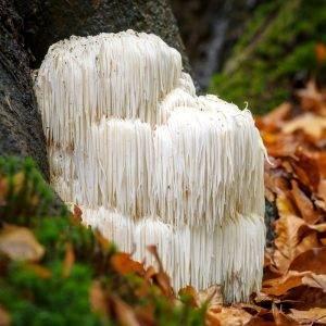 Commonly Cultivated Mushroom Species | Mushroom Growing | Mushroom Blogs | Mushroom Growing | Mushroom Tips | Mushroom Business