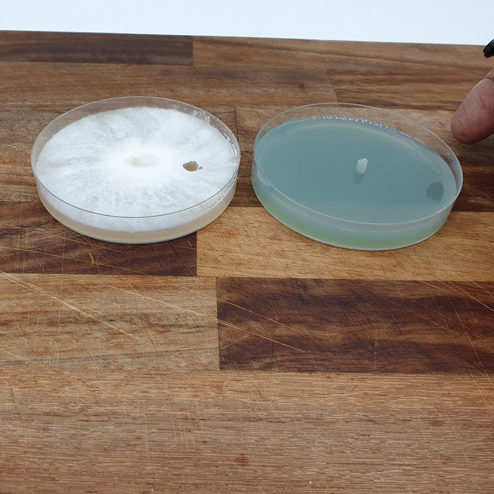 DIY Biopsy Punch | DIY Agar Transfer Tool | DIY Agar Punch Tool | Mushroom Growing | Mushroom Blogs | Mushroom Growing | Mushroom Tips | Mushroom Business