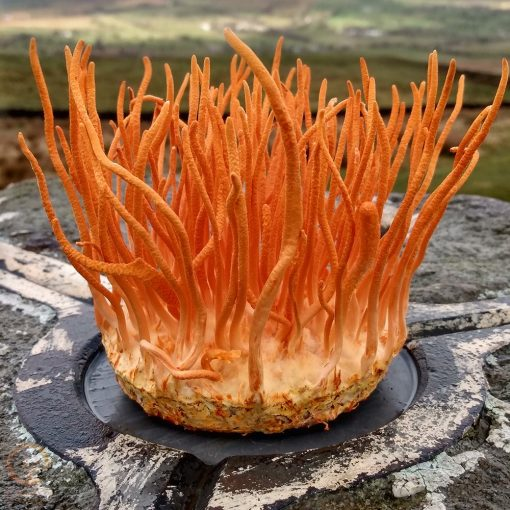 Cordycep Militaris Liquid Culture | Kaizen Cordyceps | Mushroom Growing | Mushroom Blogs | Mushroom Growing | Mushroom Tips | Mushroom Business